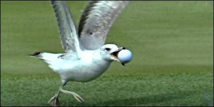 La gaviota que juega al golf en el hoyo 17 de Sawgrass en Florida.