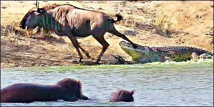 Los hipopótamos acuden al rescate del nu, atrapado por el cocodrilo.