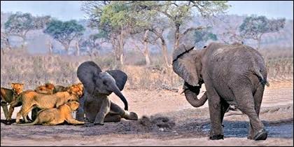 La madre elefante carga contra los leones para salvar a su cría.
