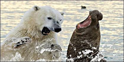 El oso polar y la morsa.