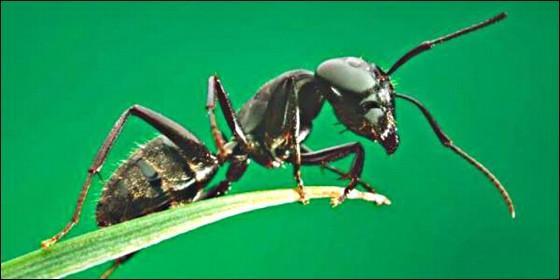 Las hormigas son guerreros que se inmolan para liberar \'armas ...