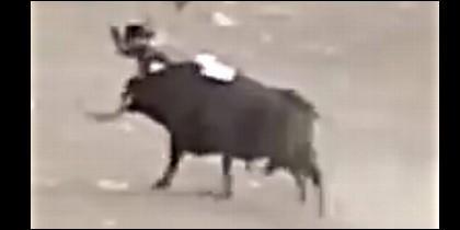 El toro se pasea por la plaza, con el joven clavado en sus pitones.