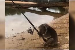 Koala pescador