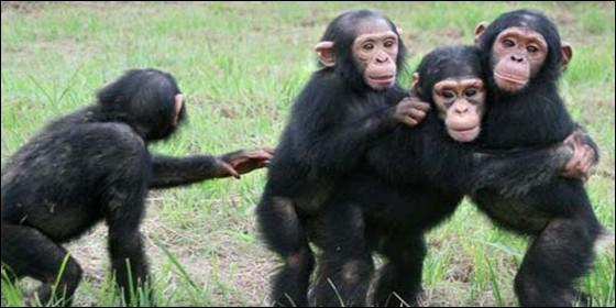 Monos: El champance tiene conductas que recuerdan mucho las humanas.