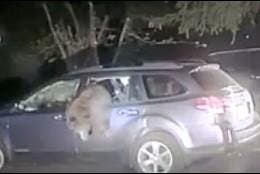 El oso y el coche