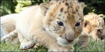 Bebé de león y tigresa