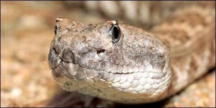 Serpiente de cascabel