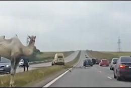 El camello y la autopista