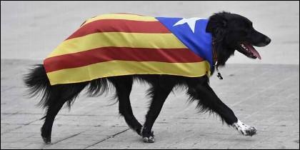Un perro 'independentista', ataviado con la bandera estelada catalana.