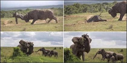 La secuencia de la madre elefante defendiendo a su cría contra un búfalo.
