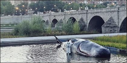 La ballena varada en el Manzanares.
