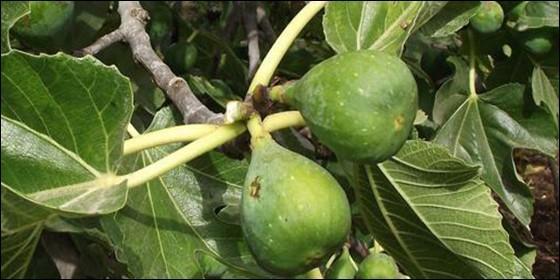 Se comió una semilla antes de morir; árbol creció en su estómago