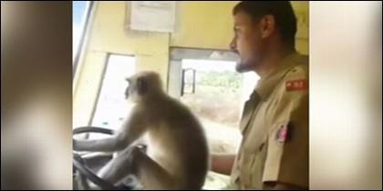 Mono conduciendo