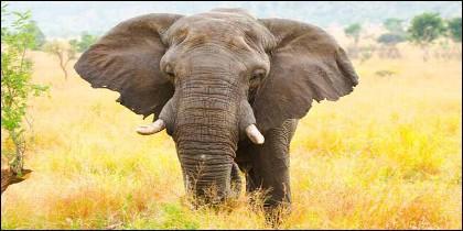 La carga del elefante africano macho, un 'Bull', en el Parque Nacional Kruger, Sudáfrica.