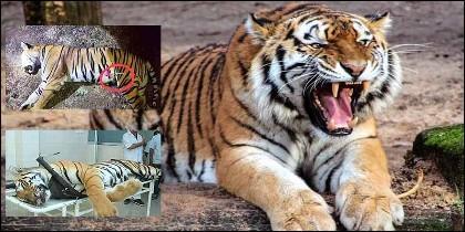 La tigresa 'T1', Avni para los proteccionistas, con el dardo que no la paralizó y muerta.