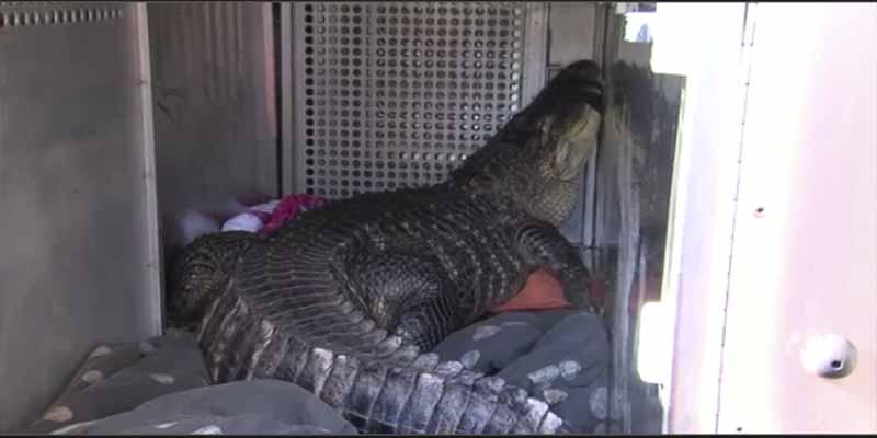 Llega a su casa y encuentra un caimán en el jacuzzi — VÍDEO