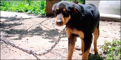 Perro encadenado  (Archivo)