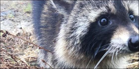 Este mapache no tenía rabia, sólo estaba muy borracho - Noticias - Nota