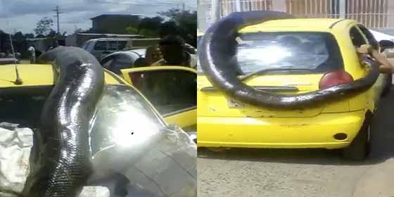 La inmensa anaconda cazada en Venezuela.