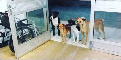Los 4 perros esperan ansiosos a que su dueño indigente sea atendido en urgencias.
