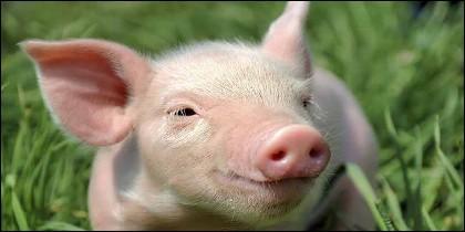El cerdo.