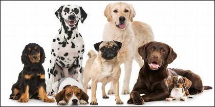 Mascotas: diferentes razas de perros.
