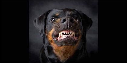 Un perro rottweiler enfurecido.