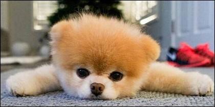 El perro Boo.