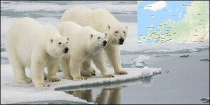 Invasión de osos polares en las islas Novaya Zemlya de Rusia.