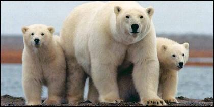 Un oso polar con sus cachorros.