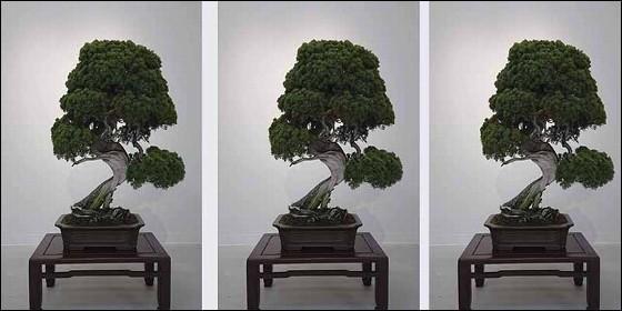 El bonsai robado en Japón.