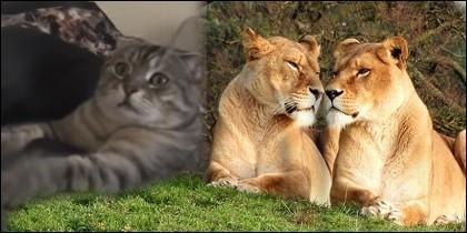 Gato y leones