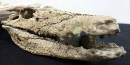 """""""Barrosasuchus"""", el cocodrilo argentino de 70 millones de años."""