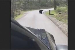Osa cruzando carretera