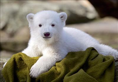 malý Knut