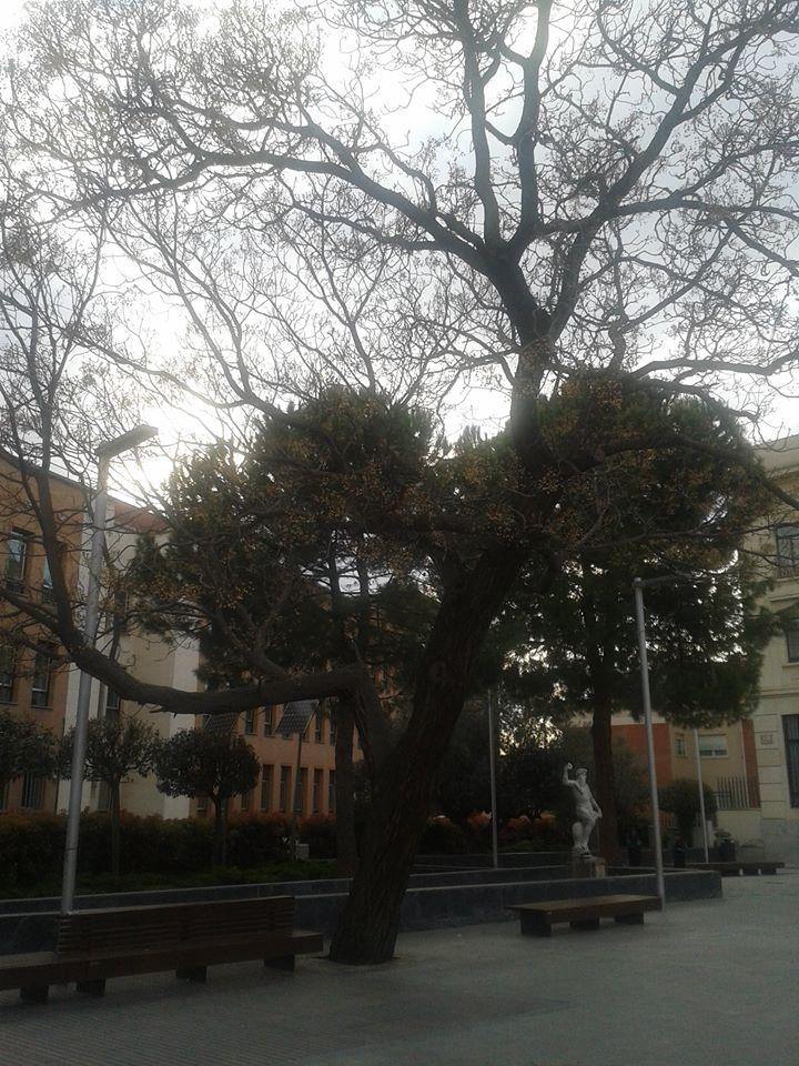 Al sicomoro de la plaza del Jardinillo, de Guadalajara