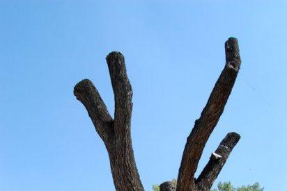 A la olma centenaria de Guadalajara, hoy escultura en madera