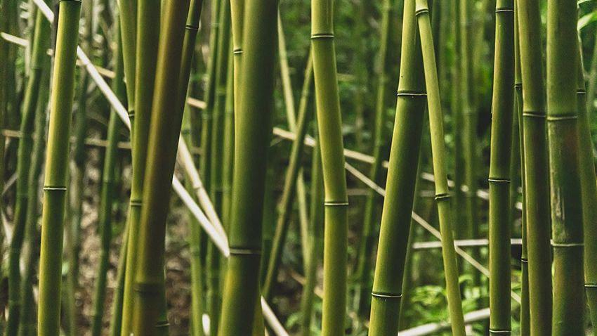 Centromem bambu