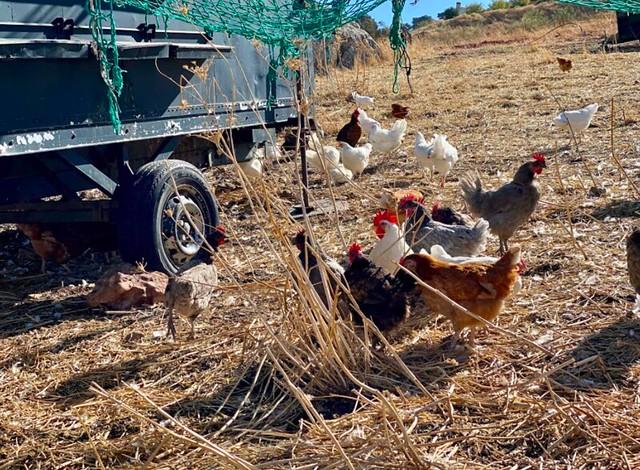 La Donaira gallinas