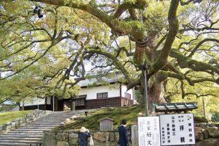 Ginkgo Biloba: El árbol que sobrevivió en Hiroshima