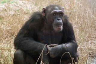 Muere Washoe, la chimpancé que conocía el lenguaje de los signos