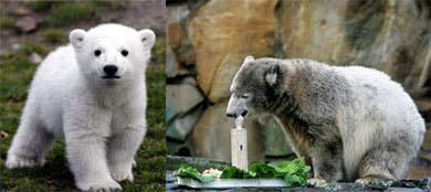 Knut, el oso polar de Berlín, convertido en estrella de cine