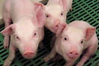 Expertos hacen crecer células humanas en fetos de cerdos