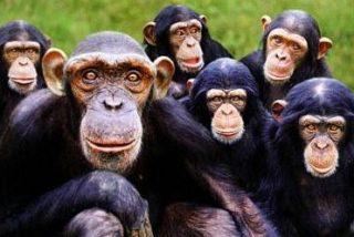 Los chimpancés pueden reconocer a miembros de su grupo por el trasero