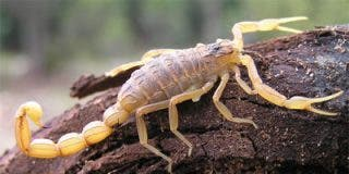 Prueban el veneno de un escorpión como tratamiento contra el cáncer