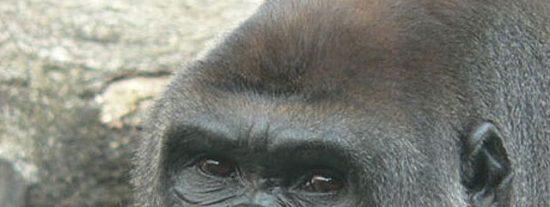 Los gorilas, como los humanos, dan palmadas para llamar la atención