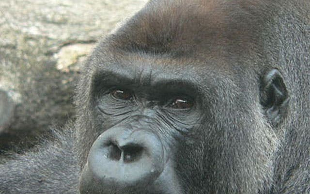La ONU declara 2009, año del gorila