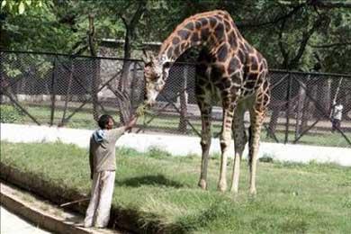 Muere una jirafa donada por Chile al zoológico de la ciudad ecuatoriana de Loja