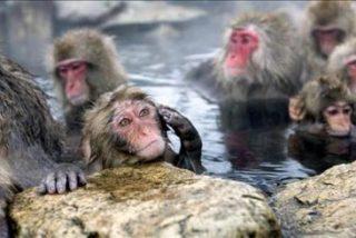 Vacuna aplicada a simios combate enfermedad similar al sida