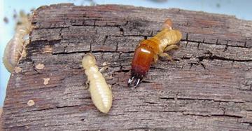 Las mandíbulas de las termitas, más feroces que las del tiburón